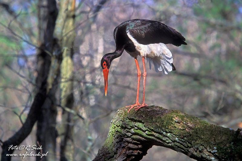 Vogelbeobachtung in Polesie