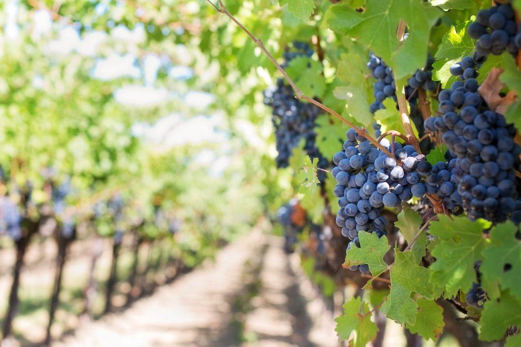 Weinanbau in Polen